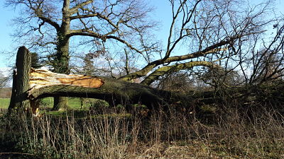 Oak Tree Failure